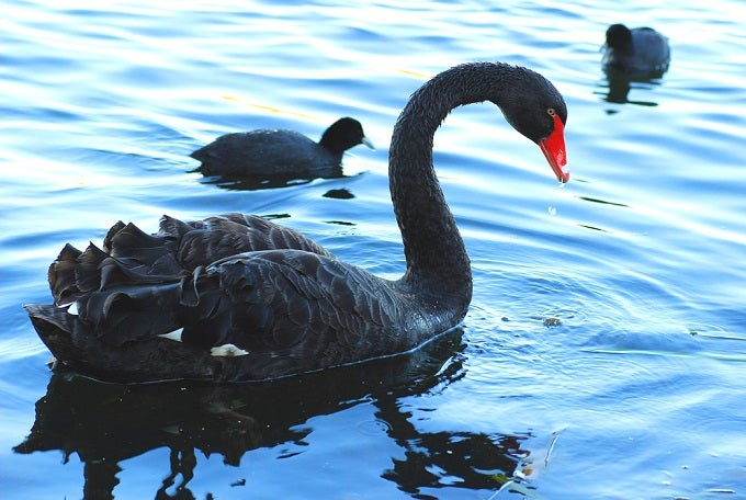 Black Swans: No Point in Freaking Out | Investopedia