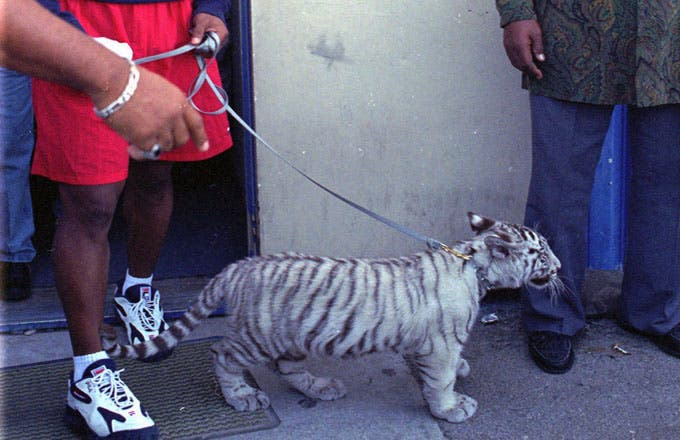 Tyson with his pet tiger