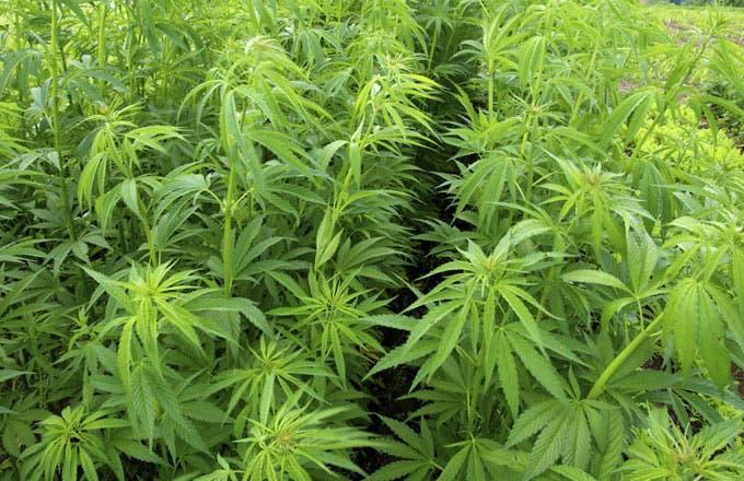 The Future Of The Marijuana Industry In America (arna)